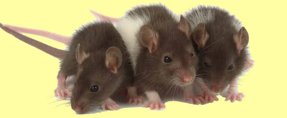 three rats Watch lab rats sneak peeks videos and full length episodes online on disney xd.